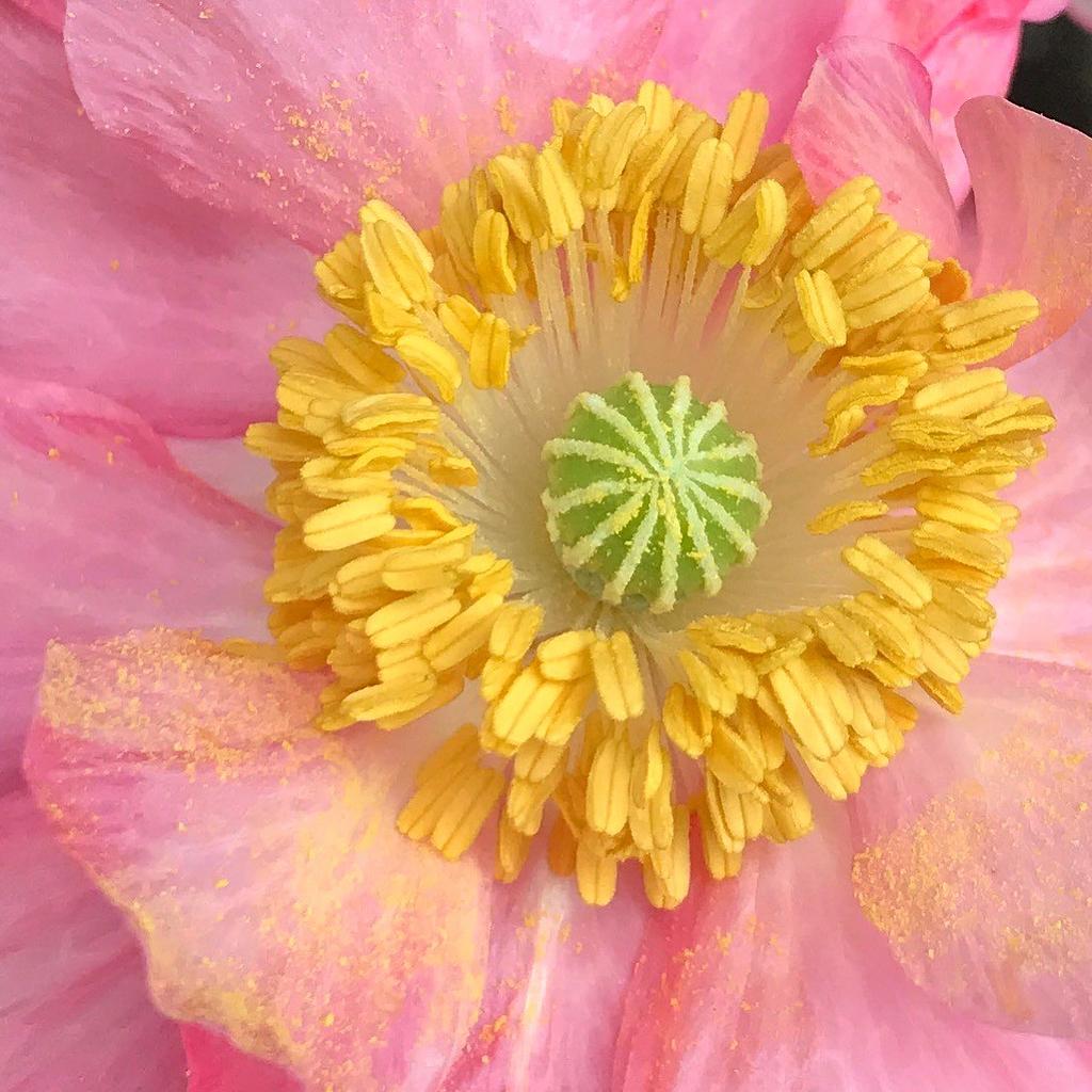Stamens and pollen