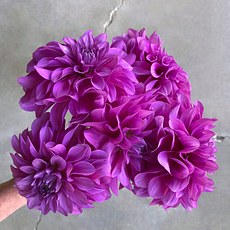 Bluetiful dahlia tubers for sale