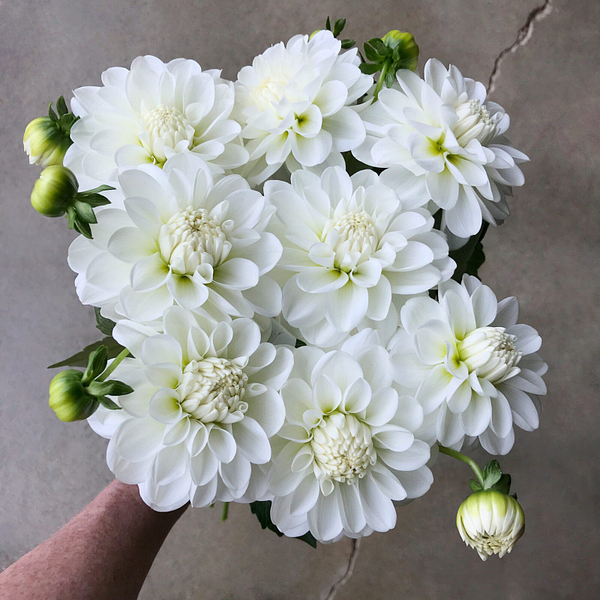 bride to be dahlia tubers for sale