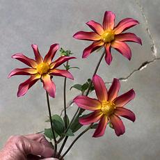 Tiffany Lynn dahlia tubers for sale