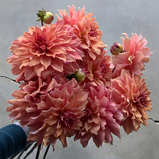 Peanut Brittle dahlia tubers for sale