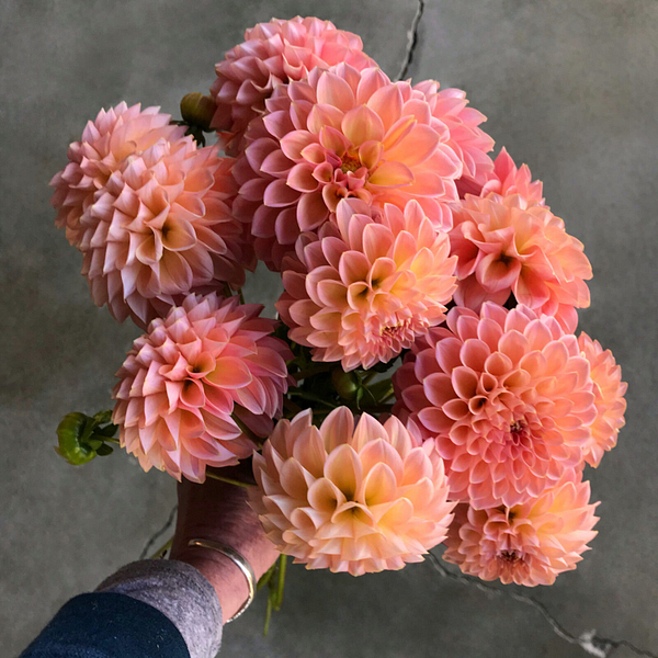 Linda's Baby dahlia tubers for sale