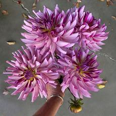 Leila Savanna Rose dahlia tubers for sale