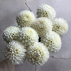 white nettie dahlia tubers for sale